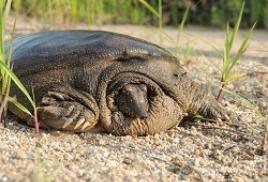 Как нынче живётся дальневосточной черепахе на реке Комиссаровка