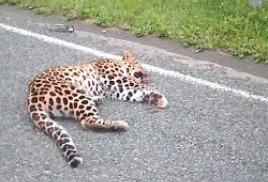 Поиски сбитого на автодороге дальневосточного леопарда завершены